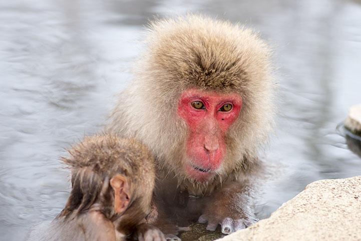 Snow monkey at Jigokudani springs,nagano(prefectures),tourism of japan